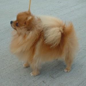 Pomeranian from Wikipedia Commons.