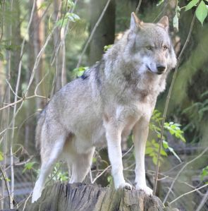 Grey wolf from Wikipedia Commons.